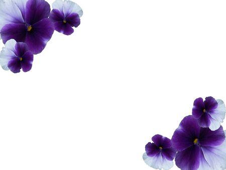 pansies: Framework from blue - violet flowers of pansies