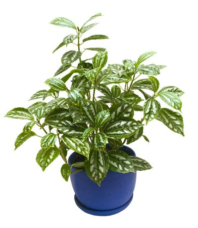 unpretentious: the Image of  the indoor plant  on a white background