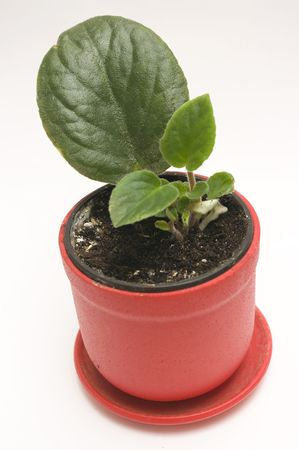 unpretentious: The image of an indoor plant in the course of reproduction Stock Photo