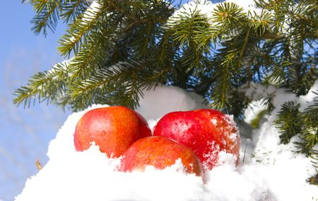 cloudless: Apples in snow against the sky and a fur-tree branch Stock Photo