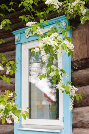 Branch of a blossoming bird cherry against a window with tulips photo