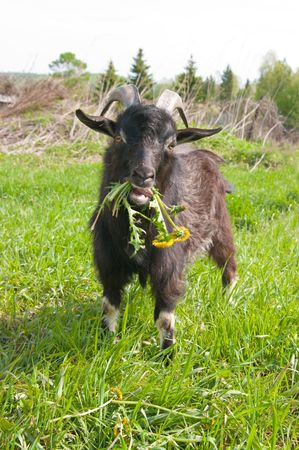 yeanling: The image of a goat chewing a bunch of dandelions Stock Photo