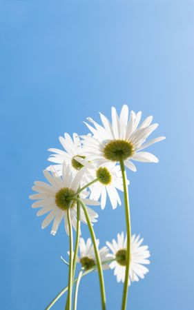 The image of a white camomile . photo