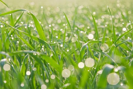 Morning dew drops on the green grass photo