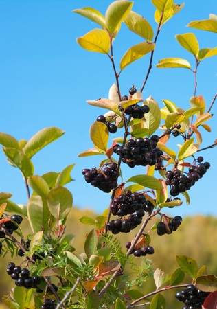 Clusters of a Black Chokeberry (Aronia) against leaves photo