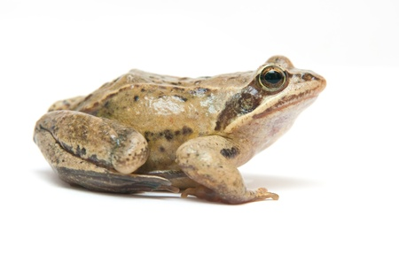 The image of a frog on a white background photo
