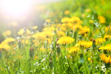 wildflowers: The image of dandelions in beams of the morning sun Stock Photo