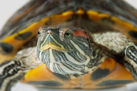 disadvantaged: Turtle