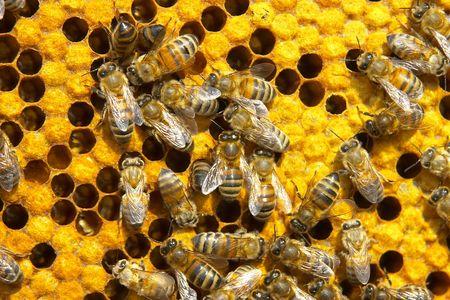 brood: bees