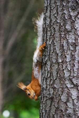 chatter: squirrel Stock Photo