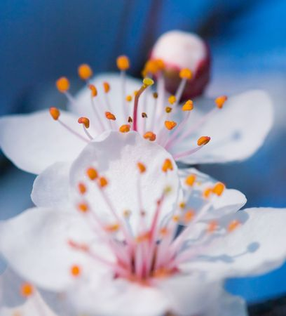 ornamental horticulture: Cherry blossonms in springtime
