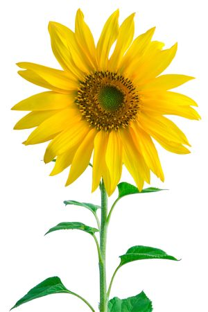 sunflower field: Sunflower on white Stock Photo