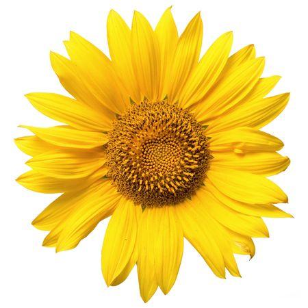 beautiful yellow Sunflower petals closeup photo