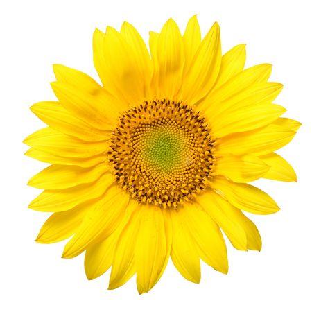 beautiful yellow Sunflower petals closeup