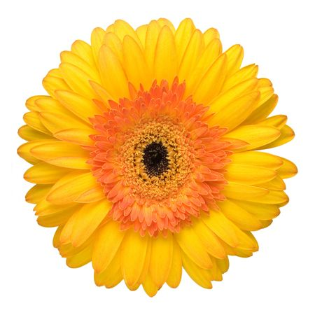Close up of the beautiful yellow daisy