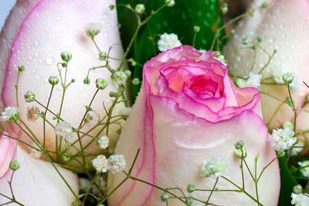 dewy: Closeup of pink rose petails covered dew