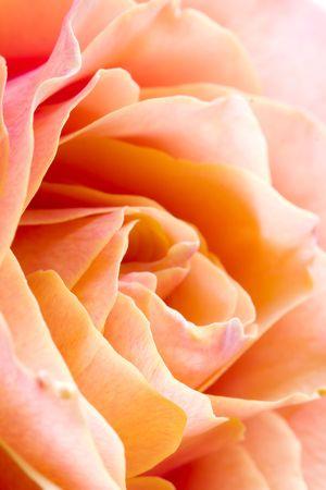 Closeup of yellow rose petails photo