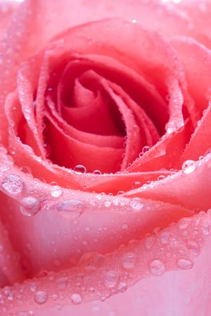 mornings: Closeup of pink rose petails covered dew