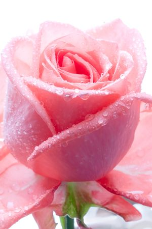 Closeup of pink rose petails covered dew Stock Photo - 659508