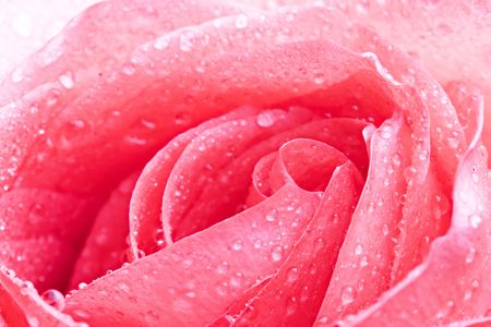 Closeup of yellow rose petails covered dew Stock Photo - 659505
