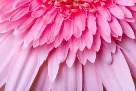 Close up of the pink daisy bloom Stock Photo - 678746