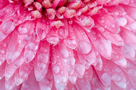 Close up of pink daisy with water droplets Stock Photo - 678743