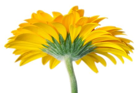 Closeup of yellow daisy on the white background Stock Photo - 678721