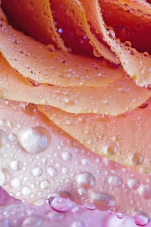 Closeup of pink rose petails covered dew Stock Photo - 678713