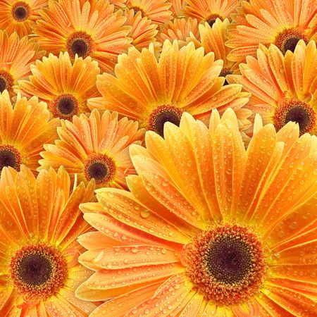 Closeup of orange daisy with water droplets Stock Photo - 745629