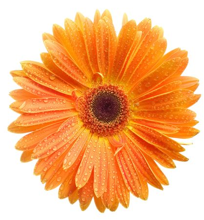 Closeup of orange daisy with water droplets Stock Photo