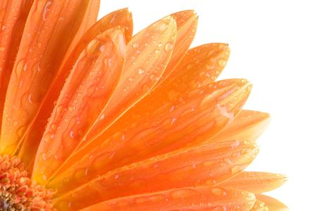 Closeup of orange daisy with water droplets Stock Photo - 745634