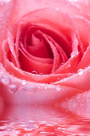 Closeup of pink rose petails covered dew photo