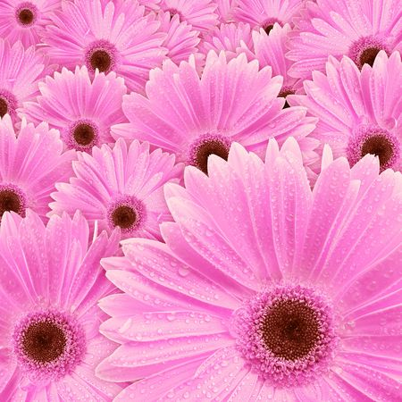 Closeup of pink daisy with water droplets Stock Photo - 796930