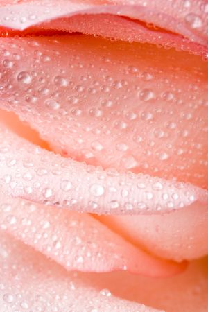 Closeup of pink rose petails covered dew Stock Photo - 799098