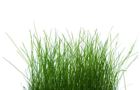 turf flowers: Closeup of the green grass covered dew