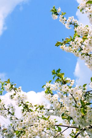 Springtime, Flowering Cherry Blossoms. Sky and clouds. photo
