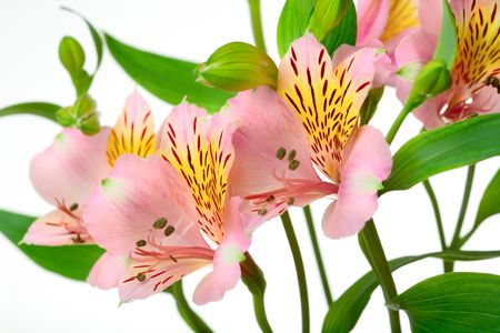 Macro shot of a pink flowers, isolated on white photo