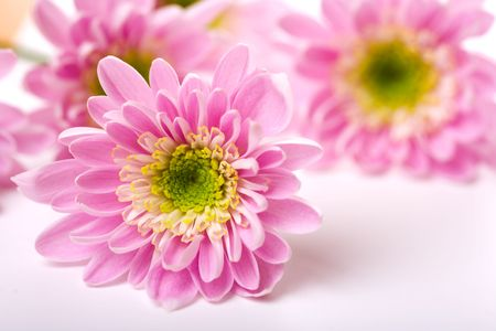 pinks: Closeup of pink daisy with water droplets Stock Photo