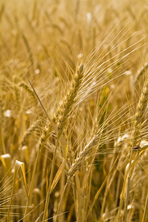 close up view of the golden grain ears Stock Photo - 1399172