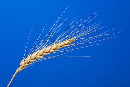 close up view of the golden grain ears Stock Photo - 1399154