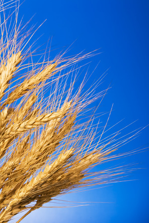 close up view of the golden grain ears Stock Photo - 1399199