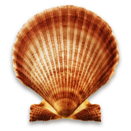 Exotic shell, isolated on a white background
