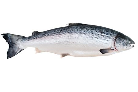 Fresh Alaskan King Salmon isolated on the white photo