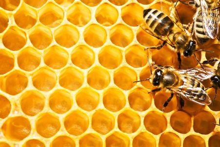studious: Close up view of the working bees on honeycells.