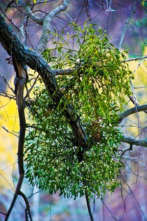 Mistletoe on a old maple tree, autumn
