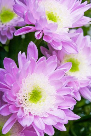 pink daisy: Close up of the pink daisy background