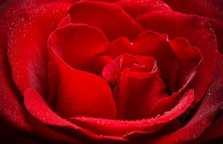 pinks: Close up of the red rose petals