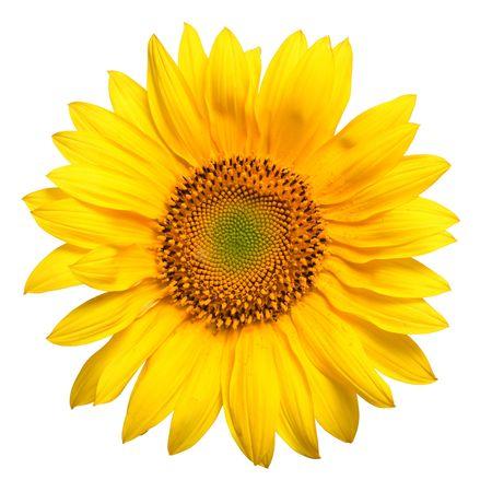 girasol: primer amarillo hermoso de los p�talos del girasol