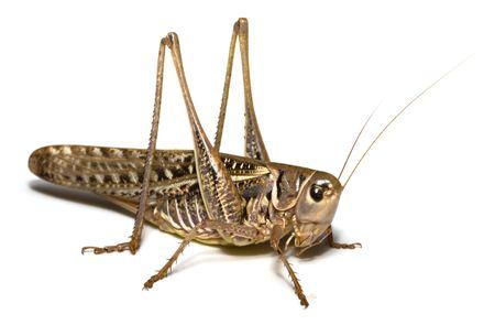 szarańcza: Locust pojedynczych White Background
