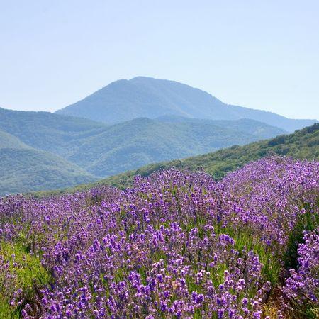 field lavender in mountain Stock Photo